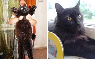 Chú mèo siêu béo nặng 10kg nhưng vẫn chạy nhảy nhanh nhẹn