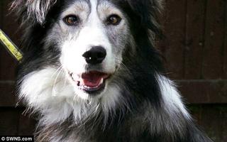 Chú chó collie bị ruồng bỏ vì tật mắt lác