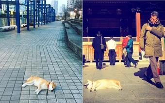 """Nàng chó Shiba """"bạ đâu nằm đấy"""": Mình thích thì mình nằm thôi!"""