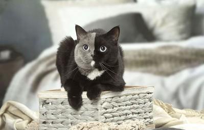 Gặp gỡ bé mèo Anh lông ngắn mặt hai màu được cả thế giới Instagram yêu thích