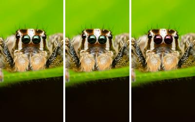 Có cho tiền cũng không biết được đàn nhện sinh ba có gì khác biệt