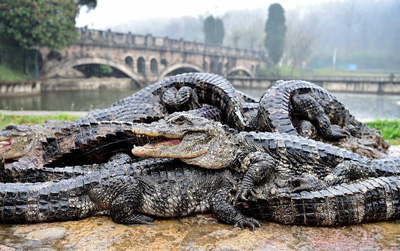 """Trung Quốc: Hơn 13.000 """"nhóc tì"""" cá sấu đang gà gật ngủ đông bị xách cổ lôi ra ngoài tắm nắng"""