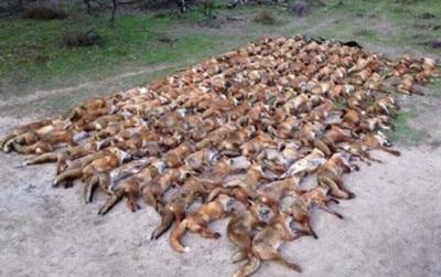 Dư luận ném gạch đá dữ dội trước cảnh tượng 100 con cáo vô tội bị bắn chết chỉ trong 1 đêm đi săn