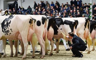 200 cô bò sữa nô nức kéo nhau đi thi hoa hậu