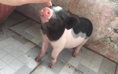 Chú heo tên Chó - thú cưng của đôi bạn ở Sài Gòn: Ăn tất cả mọi thứ, rồi ngủ và đi lòng vòng