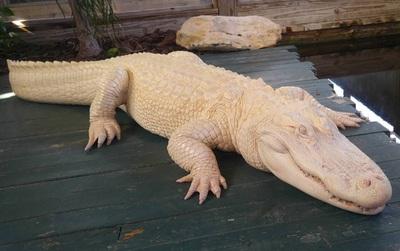 Làm quen với nàng cá sấu da trắng còn hơn cả Ngọc Trinh