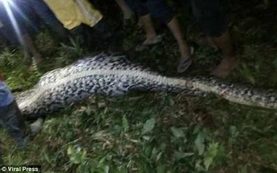 Người dân mổ bụng con trăn khổng lồ và phát hiện thi thể người đàn ông 25 tuổi trong đó