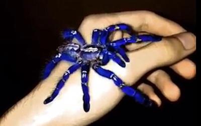 Tìm thấy loài nhện màu xanh dương ánh kim làm đau đầu các nhà khoa học