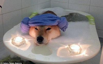 Nhìn boss tắm bồn trong ánh nền lung linh mới thấy, đến chú chó còn sướng hơn mình