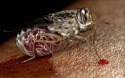 Phát hiện ra cơ chế hút, truyền bệnh chết người - nguy hiểm hơn cả sốt xuất huyết của loài ruồi xê xê