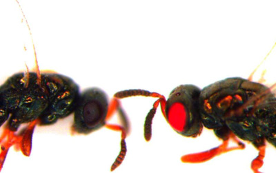 """Tin được không: Khoa học tạo ra những con ong đến từ """"địa ngục"""" và bước chuyển mình quan trọng của công nghệ gene"""