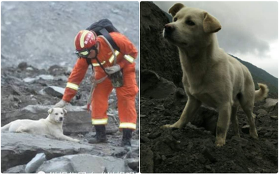 Chú chó trung thành đi khắp nơi tìm chủ trong vụ lở đất tại Trung Quốc khiến trái tim nhiều người quặn đau