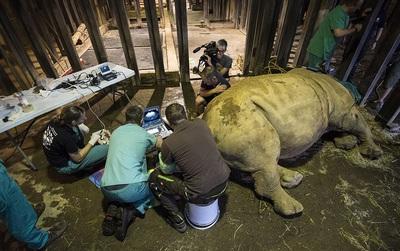 Quá già để sinh nở, 3 con tê giác trắng cuối cùng trên hành tinh được tiến hành thụ tinh trong ống nghiệm