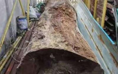 """Trung Quốc: Mua cây gỗ """"hàng chợ"""" 700 nghìn bán lại 5,5 tỉ"""