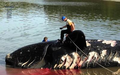 Sau một năm 2017 chết chóc, loài cá voi siêu hiếm này chính thức có nguy cơ tuyệt chủng