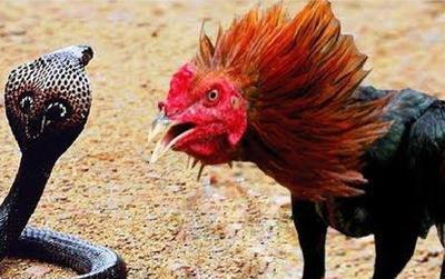 """Lạc giữa bầy gà, rắn hổ mang bị """"ăn hành"""" và trở thành bữa no cho gà trống"""