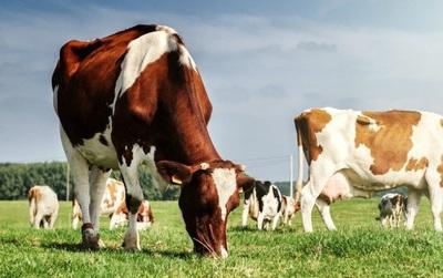 Loài bò ngày càng có nhiều khả năng siêu phàm! Giờ chúng còn đang giúp con người điều trị HIV