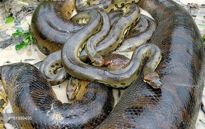 Sự thật: Có phải trăn Anaconda không bao giờ ngừng lớn?