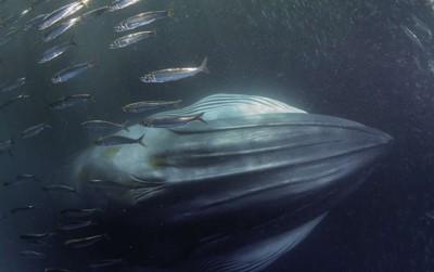 Sinh vật này có thể là loài cá voi đầu tiên tuyệt chủng trong vòng 300 năm qua