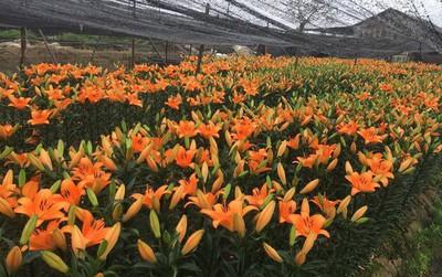 Hà Nội: Làng hoa Tây Tựu nở trái mùa, nông dân khóc ròng vì cắm nhà trả nợ