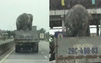 Cơ quan chức năng nói gì vụ chú voi được chở ngang nhiên trên QL1?