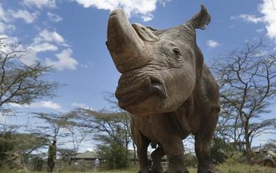 Hình ảnh ám ảnh về chú tê giác trắng cuối cùng vừa qua đời
