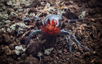 Xem loài nhện có răng nanh đỏ như máu ở Úc
