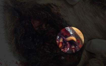 """Tưởng đã biến mất nhưng loài ký sinh trùng """"ăn thịt"""" này đã trở lại và lợi hại hơn xưa"""