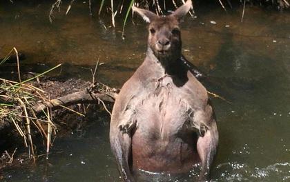 Con chuột túi khổng lồ đột biến nổi cơ bắp cuồn cuộn như lực sĩ thể hình