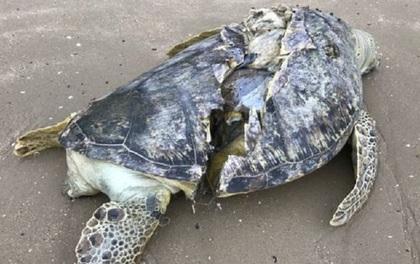 Hình ảnh rùa biển quý hiếm bị cứa làm đôi, nằm chết trên bãi biển Singapore khiến nhiều người xót xa