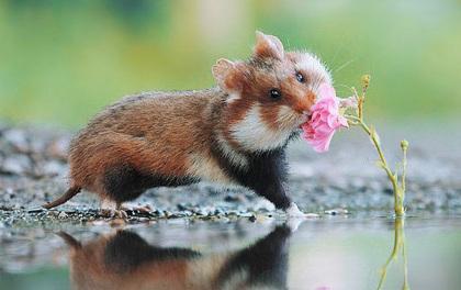 Cuộc sống hưởng thụ của 15 chú chuột hamster sống ở ngoài thế giới tự nhiên