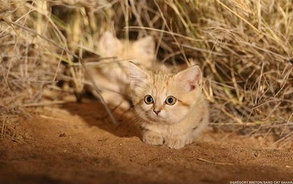 Giống mèo mini mới được ghi hình lần đầu tiên tại sa mạc