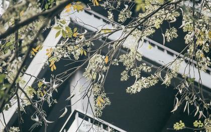 Hoa sưa nở rồi, tiết trời nồm ẩm tháng 3 của Hà Nội cũng vì thế mà dịu dàng hơn...