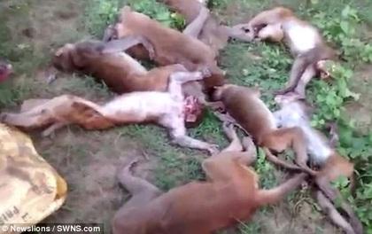 Nhìn thấy hổ lởn vởn, 12 con khỉ đồng loạt rủ nhau chết cứng vì lên cơn đau tim