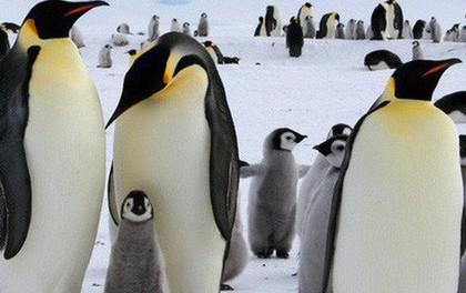 Phát hiện ra loài chim cánh cụt còn cao hơn chiều cao trung bình người Việt Nam, từng thống trị bờ biển New Zealand