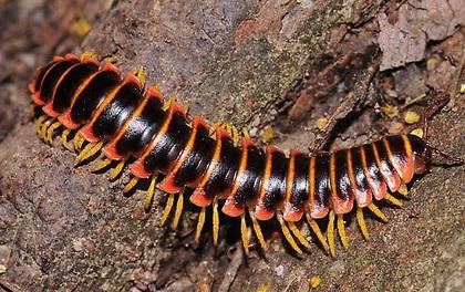 Loài sinh vật này trông thì gớm thế nhưng lại tiết ra mùi hương ngọt hơn cả kẹo