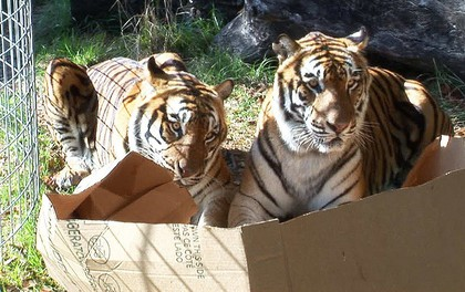 Tất cả mèo trên thế giới đều bị ám ảnh bởi chiếc hộp, kể cả những con mèo to lớn nhất của tự nhiên