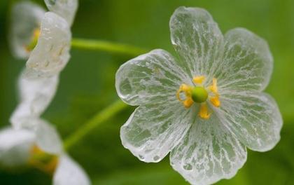 Vẻ đẹp tinh khiết tựa pha lê của loài hoa cứ gặp mưa là trong suốt như tàng hình