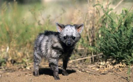 Gặp gỡ loài sói đất cute lạc lối có vẻ ngoài trẻ mãi không già