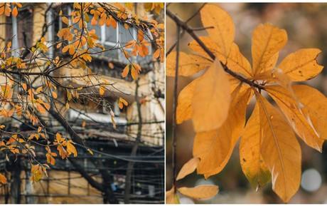 Hà Nội những ngày mùa xuân lá đỏ lá vàng: Đẹp mãi thế này thì khỏi cần đi Hàn hay Nhật luôn nhỉ?