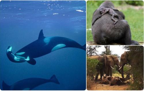 """Khi động vật cũng biết """"để tang"""" cho cái chết của đồng loại: Cảm thương đến nao lòng"""