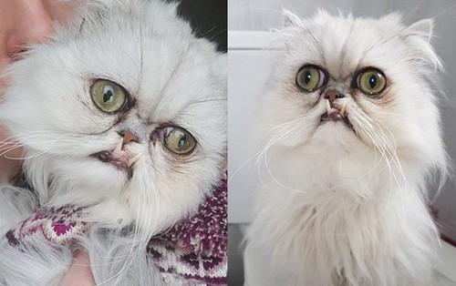 """""""Chú mèo khó ở nhất Thế giới"""": Mặt mũi trông khó coi đến mức ai nhìn vào cũng tưởng là Photoshop"""