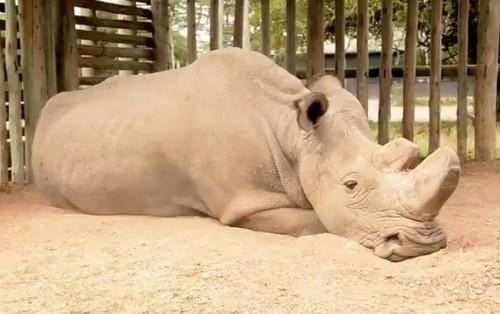 Chú tê giác trắng đực cuối cùng trên thế giới qua đời - niềm hy vọng mong manh cuối cùng bị dập tắt