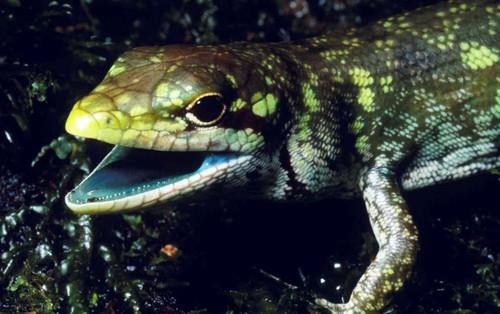 Loài thằn lằn có máu màu xanh lục và cực độc nhưng chẳng ai hiểu vì sao chúng lại tiến hóa như thế