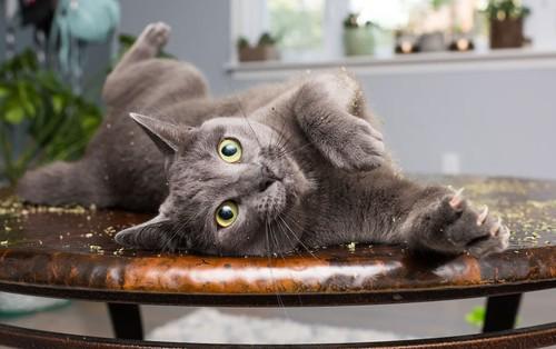 """Những tác phẩm của nhiếp ảnh gia Mỹ chuyên chụp lũ mèo lúc đang """"phê"""" cỏ catnip"""
