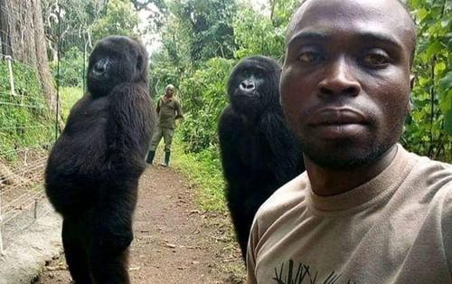 Câu chuyện đằng sau bức ảnh khỉ đột đứng selfie