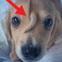 """Chú cún con """"kỳ lân"""" với chiếc đuôi mọc giữa trán này đang gây sốt cộng đồng mạng, nhưng tại sao chú lại bị như thế?"""