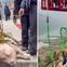 Đem trói lợn sống vào dây nhảy bungee để mua vui, công viên giải trí nhận cả tấn gạch đá từ cộng đồng mạng