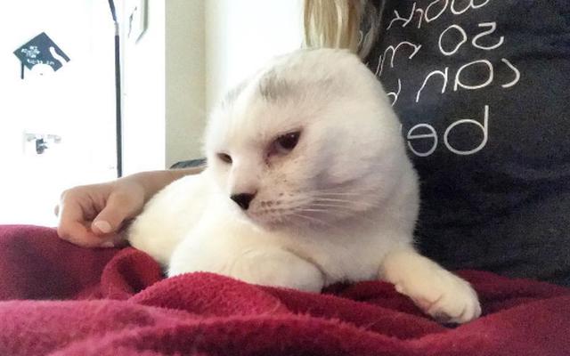Chú mèo không tai được ví như mèo máy Doraemon của đời thực
