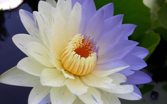 Quên đi những bông hoa súng trắng phau nhạt nhẽo, dân mạng sành điệu giờ lùng mua hoa nửa nọ nửa kia mới chất